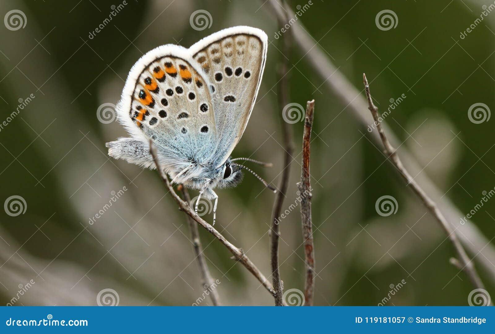 Μια ασημένιος-στερεωμένη αρσενικό μπλε πεταλούδα Plebejus Argus ζάλης που σκαρφαλώνει στην ερείκη