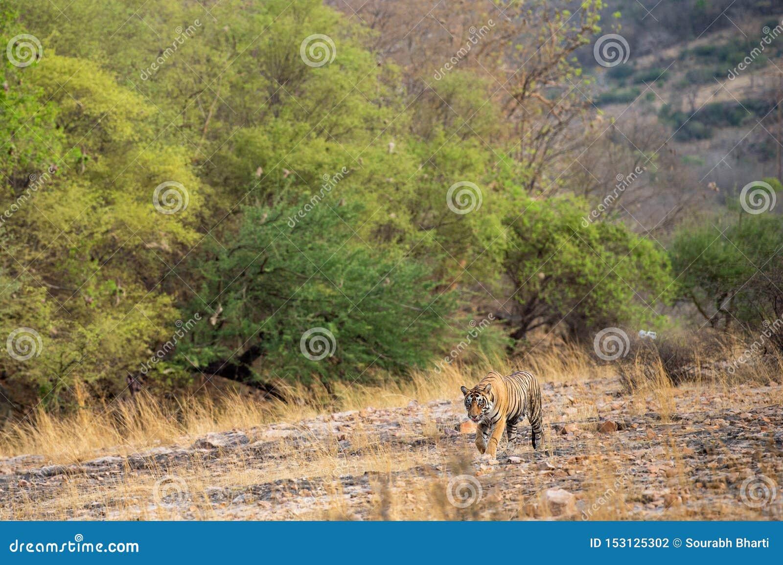 Μια βασιλικό αρσενικό τίγρη ή ένα panthera Τίγρης της Βεγγάλης στο prowl με όμορφα πράσινα δέντρα ξεραίνει το τοπίο υποβάθρου λόφ