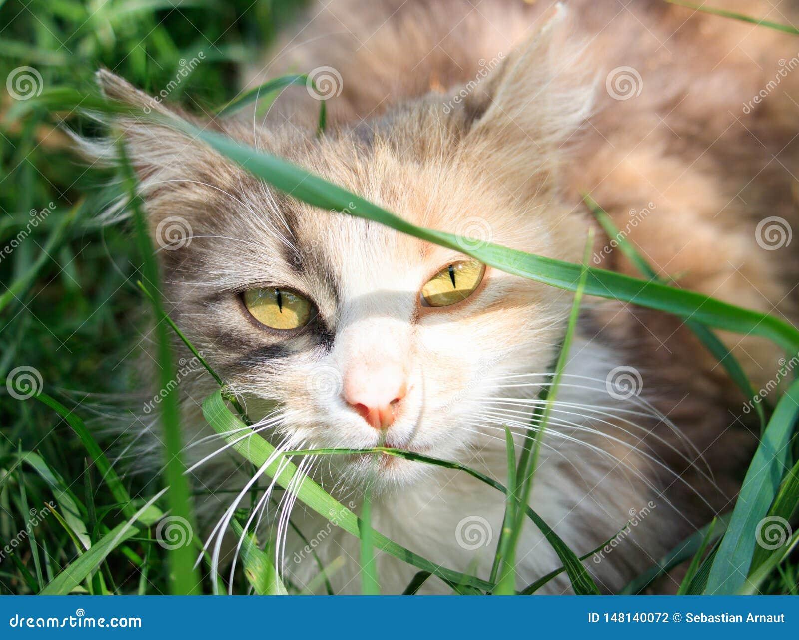 Μια γάτα κρύβει στη χλόη μια ηλιόλουστη ημέρα και εξετάζει το φακό καμερών
