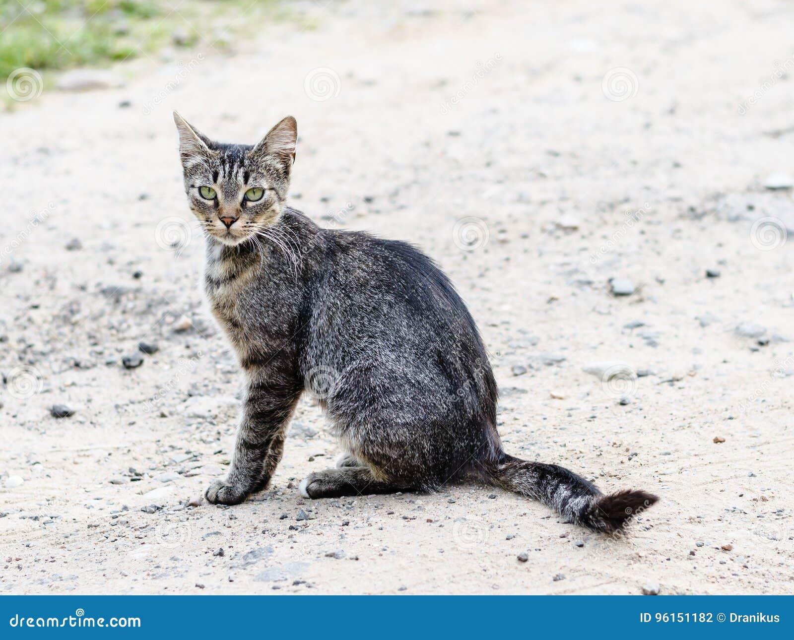 3692e8771c2f Μια γκρίζα γάτα με την όμορφη τρίχα και τα ευφυή μάτια Στοκ Εικόνες ...