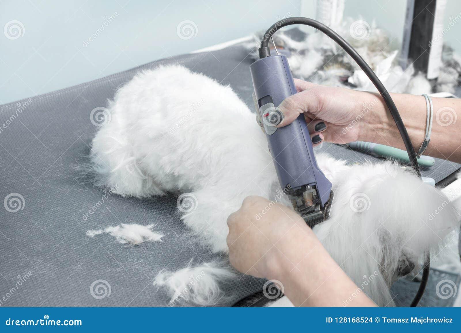 5 Μια γυναίκα κόβει ένα της Μάλτα σκυλί με έναν ηλεκτρικό κουρευτή ζώων σε ένα ζωικό σαλόνι ομορφιάς