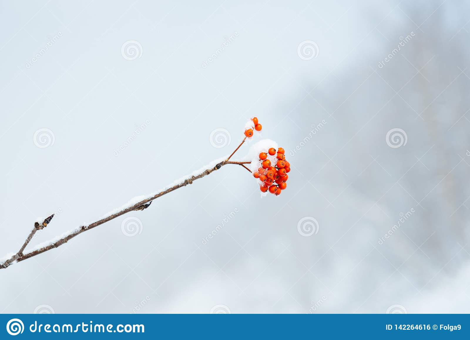 Μια δέσμη των μούρων σορβιών σε έναν κλάδο το χειμώνα