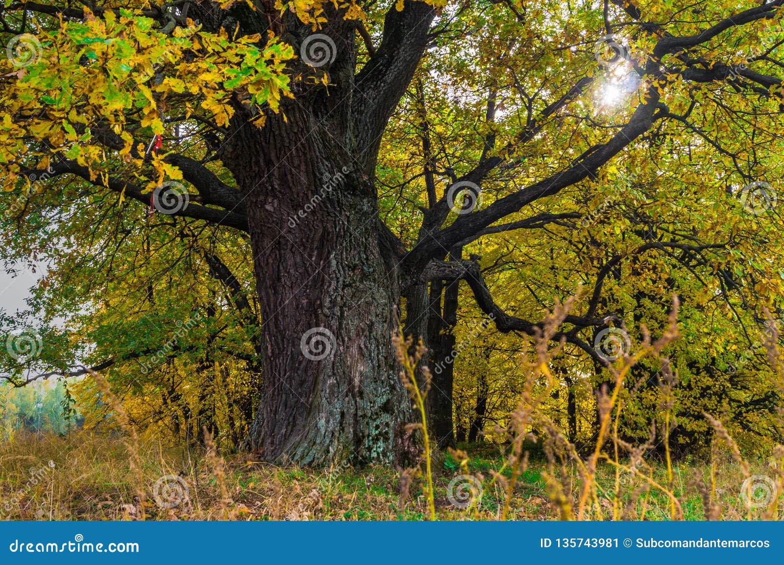 Μια δυνατή παλαιά αρχαία βαλανιδιά, που στέκεται μόνο στην άκρη ενός δρύινου άλσους λειψάνων Χρυσό φθινόπωρο, πολύβλαστο κίτρινο