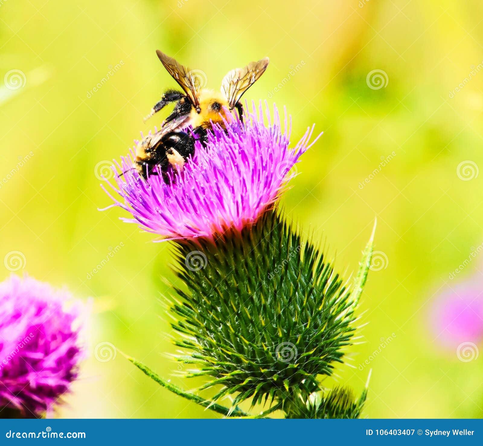 Μια μέλισσα σε ένα λουλούδι: Πίνοντας νέκταρ