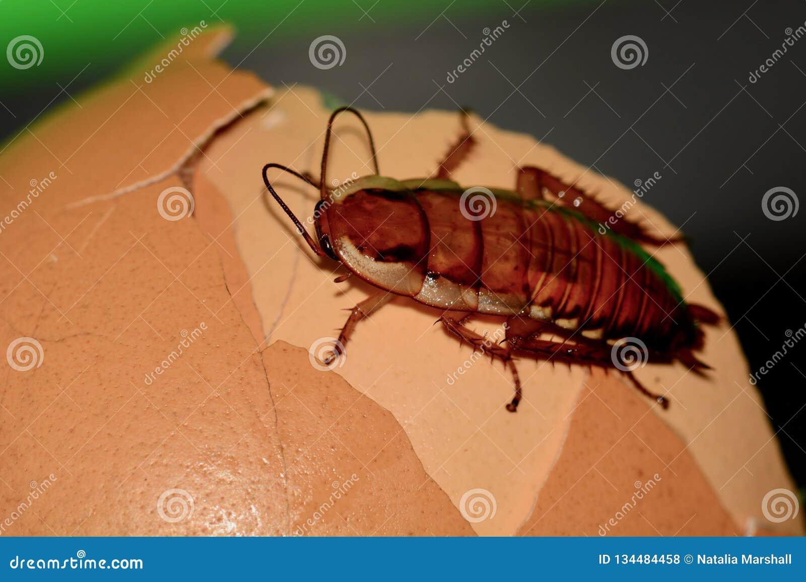 Μια μακρο φωτογραφία μιας κατσαρίδας σε μερικά απορρίματα τροφίμων Ένα δυσάρεστο έντομο, παράσιτο που μολύνει πολλά σπίτια