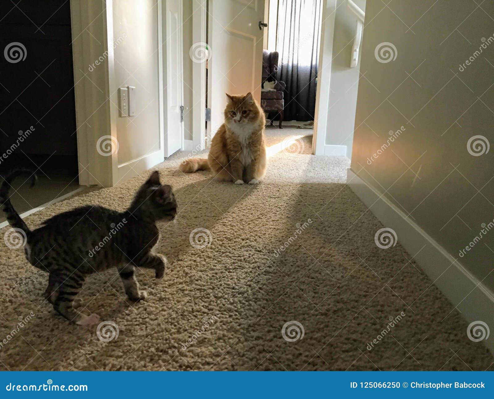 Μια νέα άκρη γατακιών που γύρω από το νέο σπίτι της με το αρσενικό δύο ενηλίκων