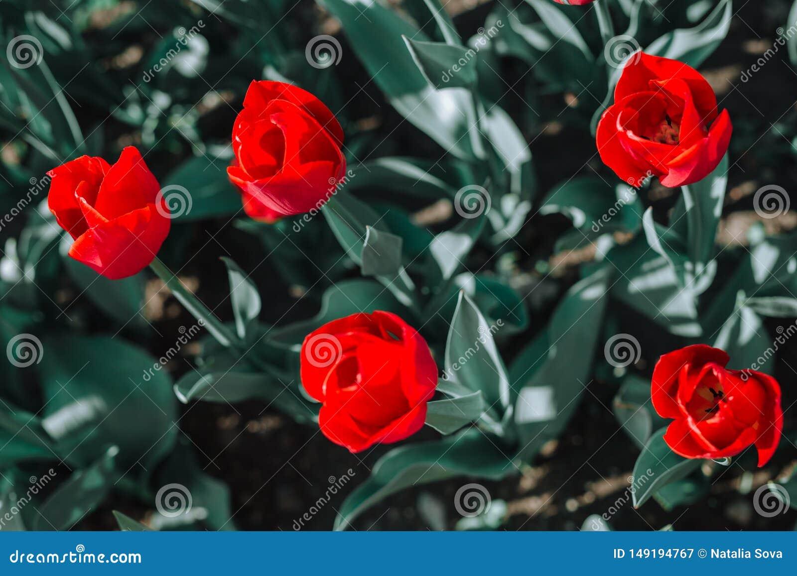 Μια ομάδα κόκκινων τουλιπών στο πάρκο