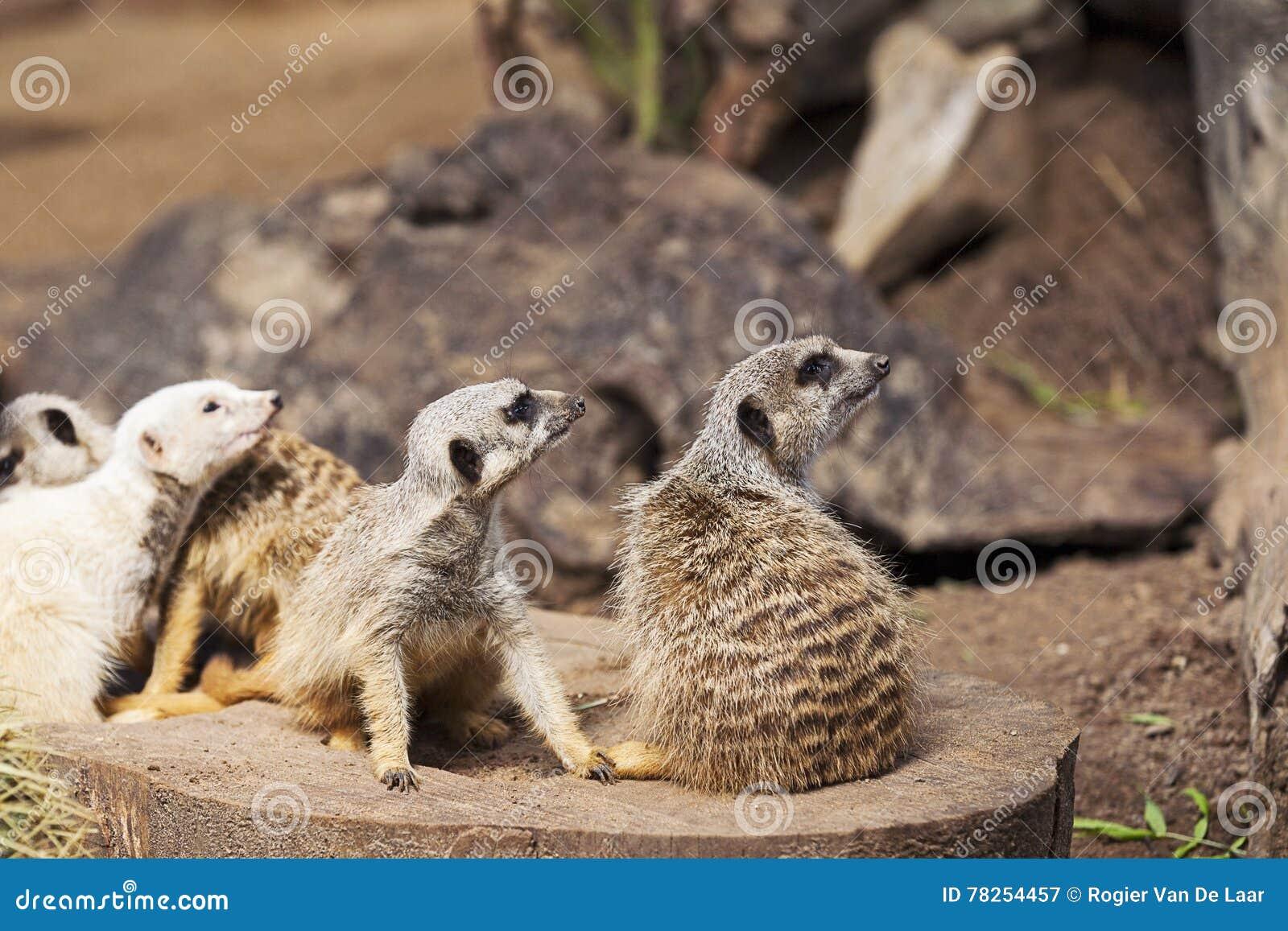 Μια ομάδα Meerkats