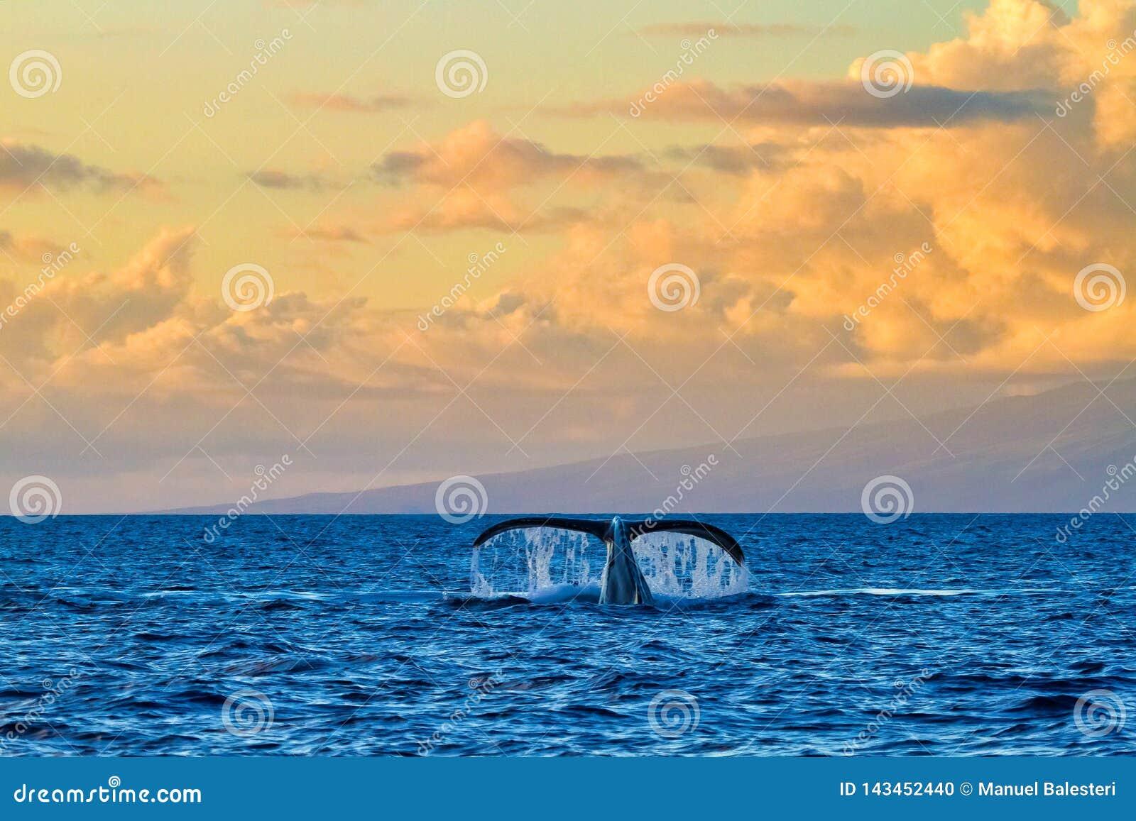 Μια ουρά φαλαινών που βλέπει εντυπωσιακή από μια βάρκα ρολογιών φαλαινών στο ηλιοβασίλεμα σε Maui