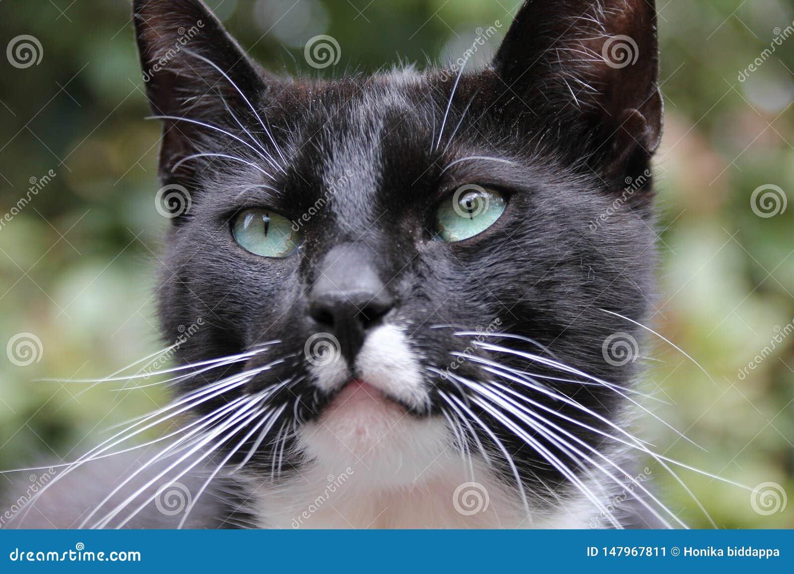 Μια περσική γάτα blcack που κοιτάζει με τα μάτια του