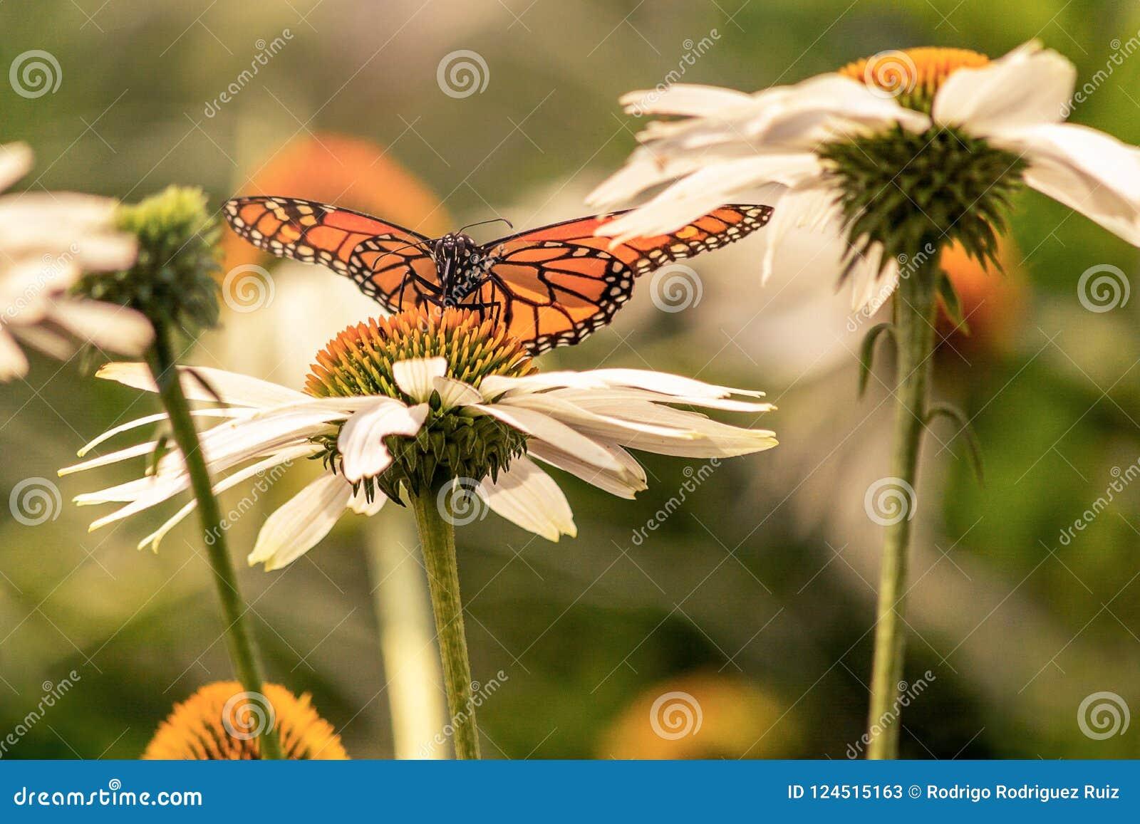 Μια πεταλούδα μοναρχών λουλούδια με τα εκτεταμένα φτερά
