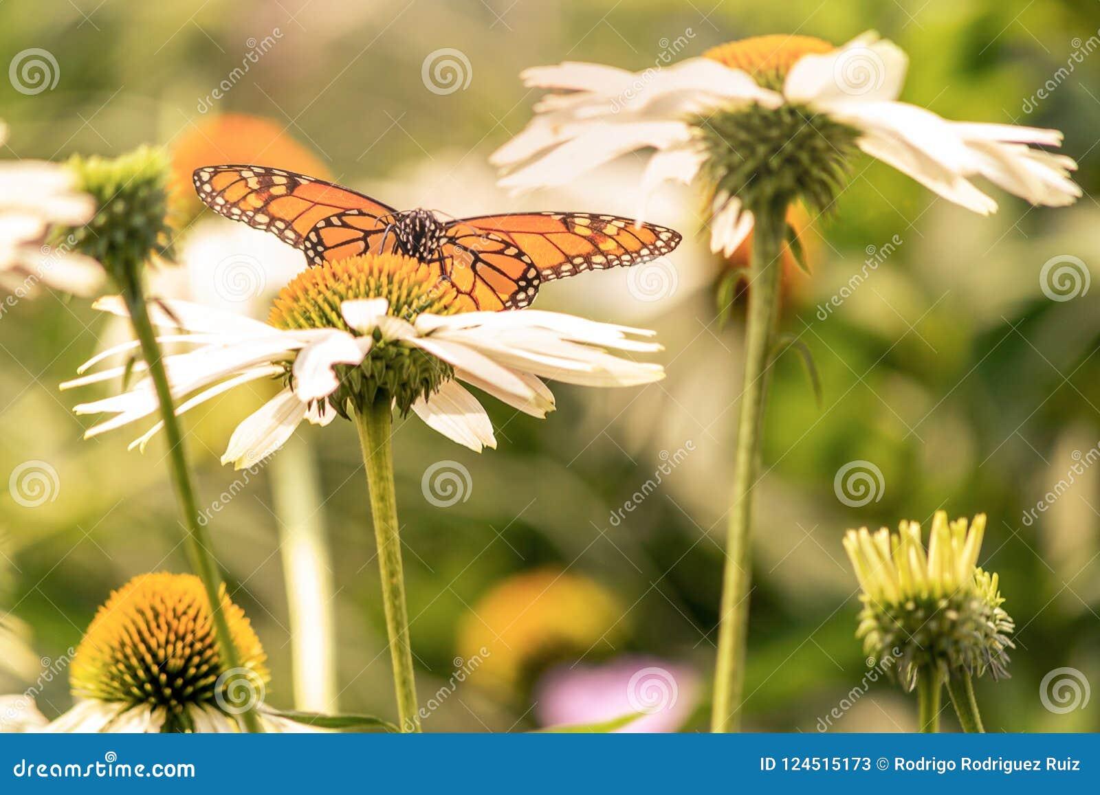 Μια πεταλούδα μοναρχών που προσγειώνεται σε ένα άσπρο λουλούδι