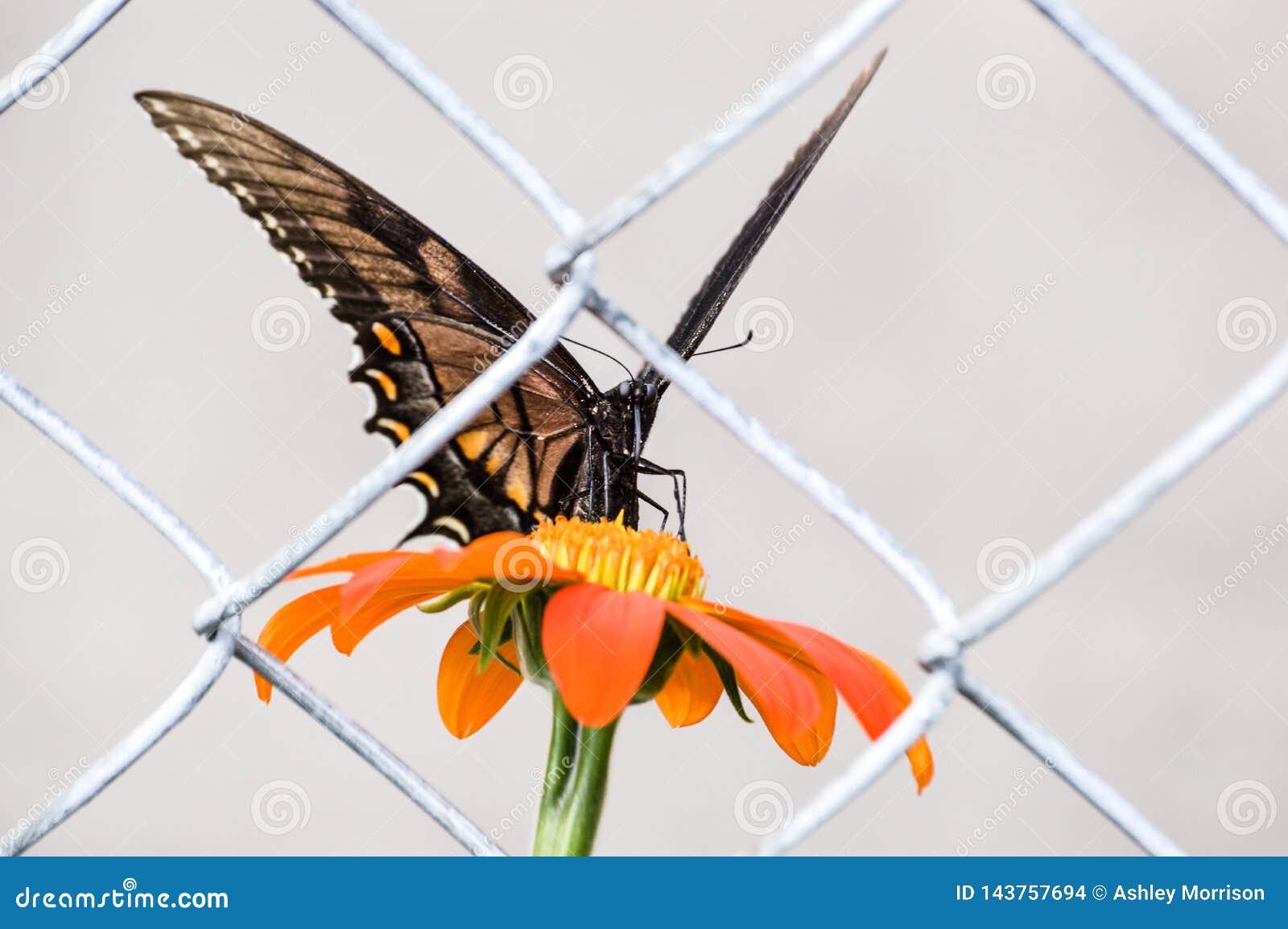 Μια πεταλούδα που παγιδεύεται απομονωμένη πίσω από έναν φράκτη