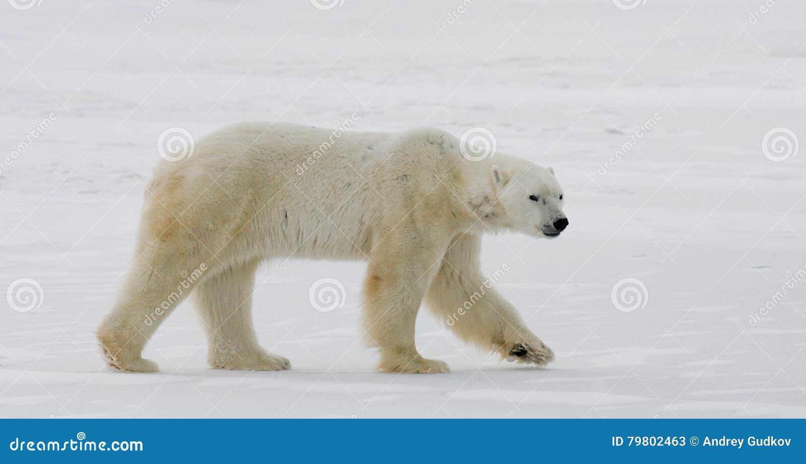 Μια πολική αρκούδα tundra χιόνι Καναδάς