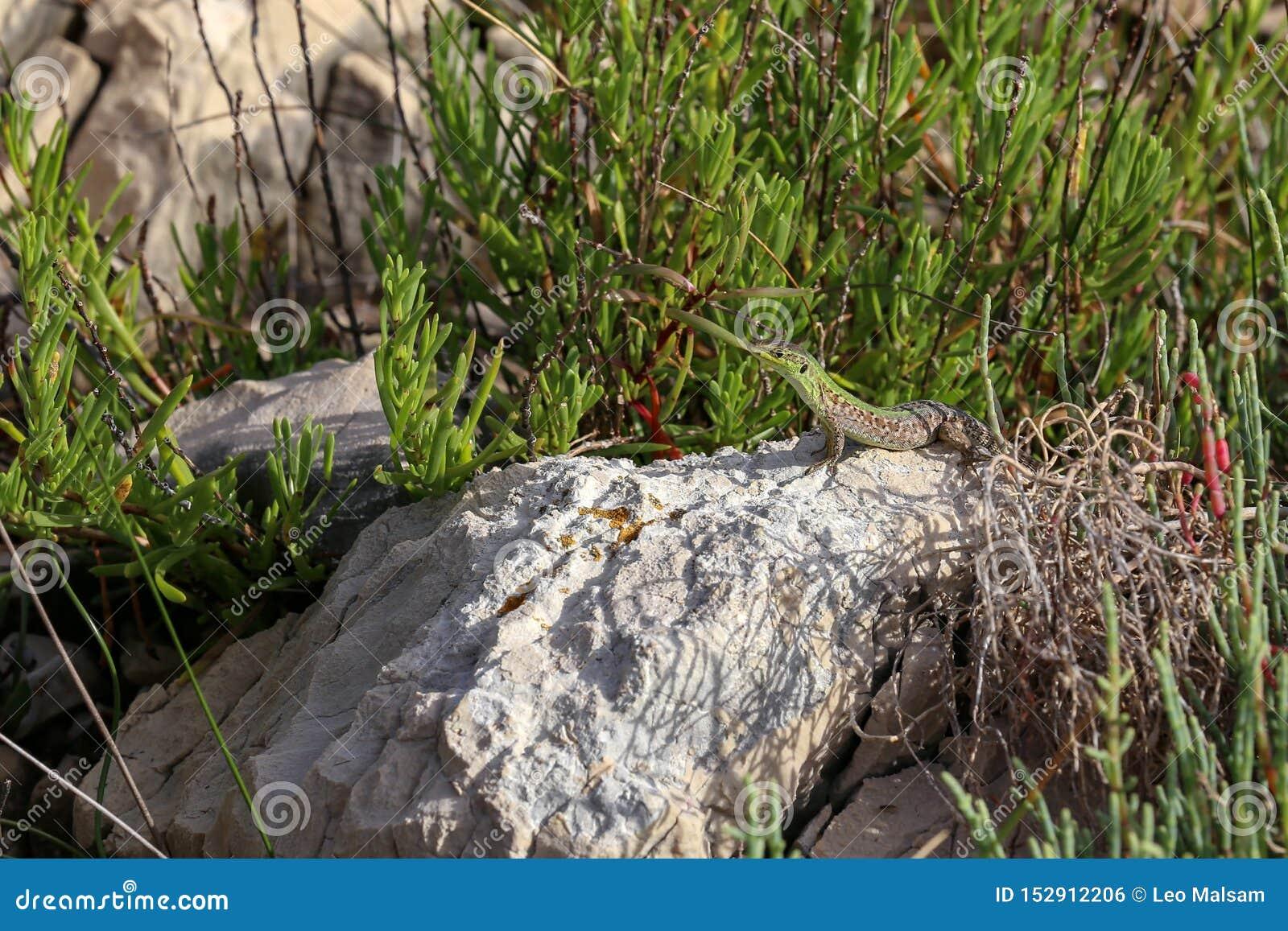 Μια πράσινη σαύρα κάθεται σε έναν βράχο