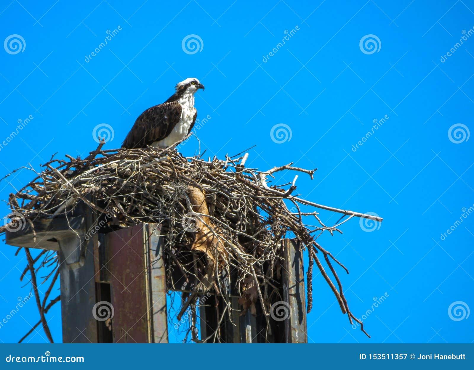 Μια συνεδρίαση osprey πάνω από forklift