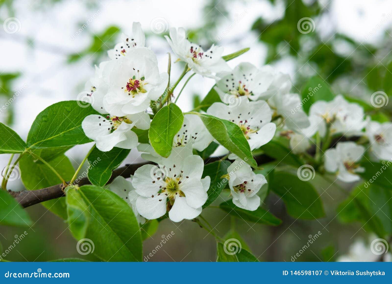 Μια φωτογραφία ενός κλάδου ενός ανθίζοντας δέντρου αχλαδιών Μακρο άσπρα λουλούδια άνοιξη πυροβολισμού του αχλαδιού