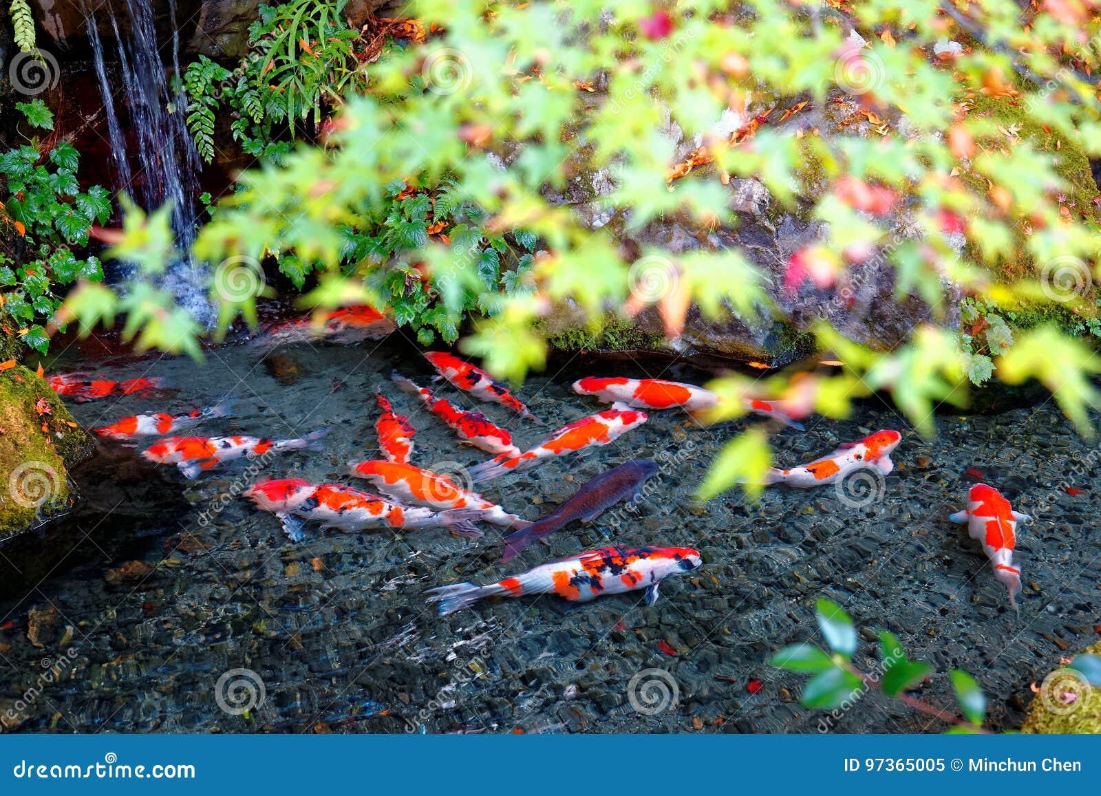 Μια όμορφη άποψη των ιαπωνικών ψαριών κυπρίνων Koi σε μια καλή λίμνη & των ζωηρόχρωμων φύλλων σφενδάμου σε έναν κήπο στο Κιότο Ια