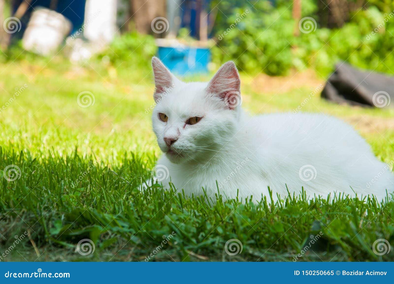 Μια όμορφη άσπρη γάτα που βρίσκεται σε μια πράσινη χλόη στον ήλιο