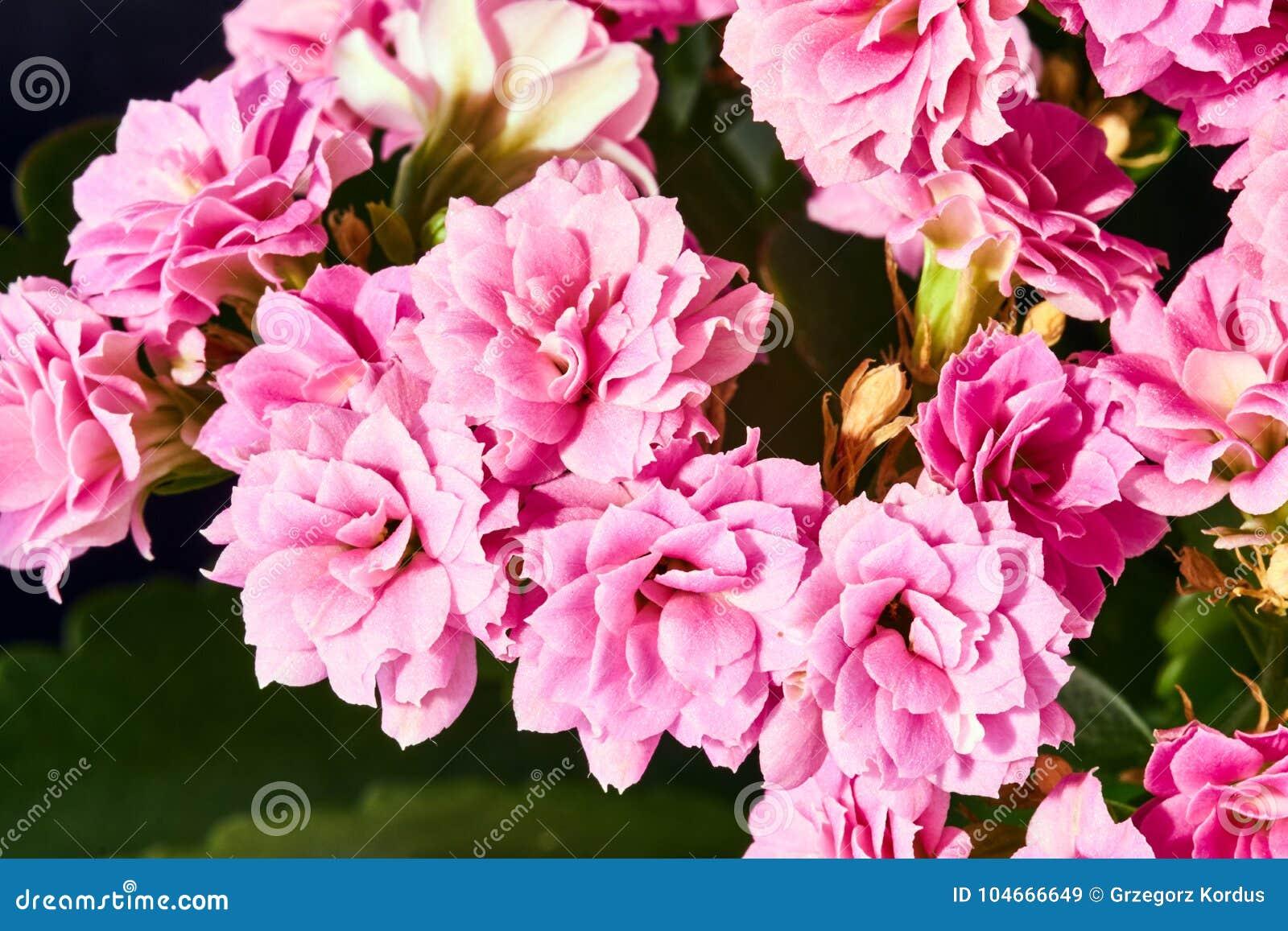 Μια όμορφη ανθοδέσμη των λουλουδιών kalanchoe