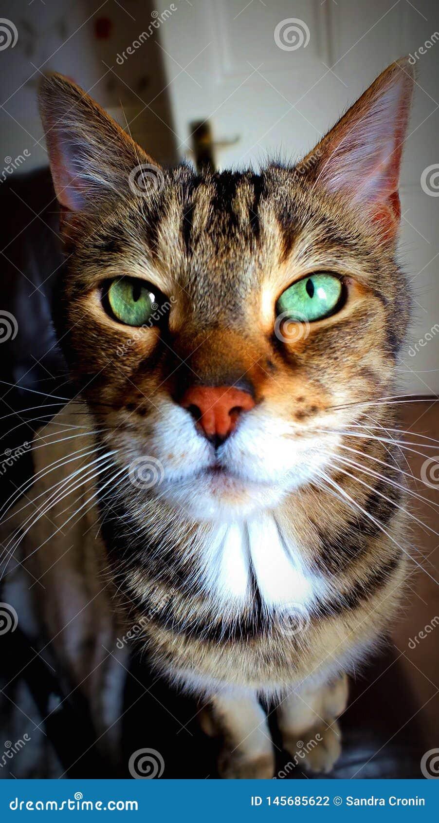 Μια όμορφη αρσενική γάτα βραχιολιών