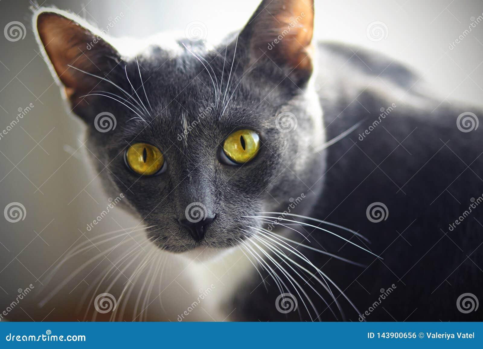 Μια όμορφη εγχώρια γάτα του γκρίζου χρώματος με ένα άσπρο σημείο στο μέτωπο
