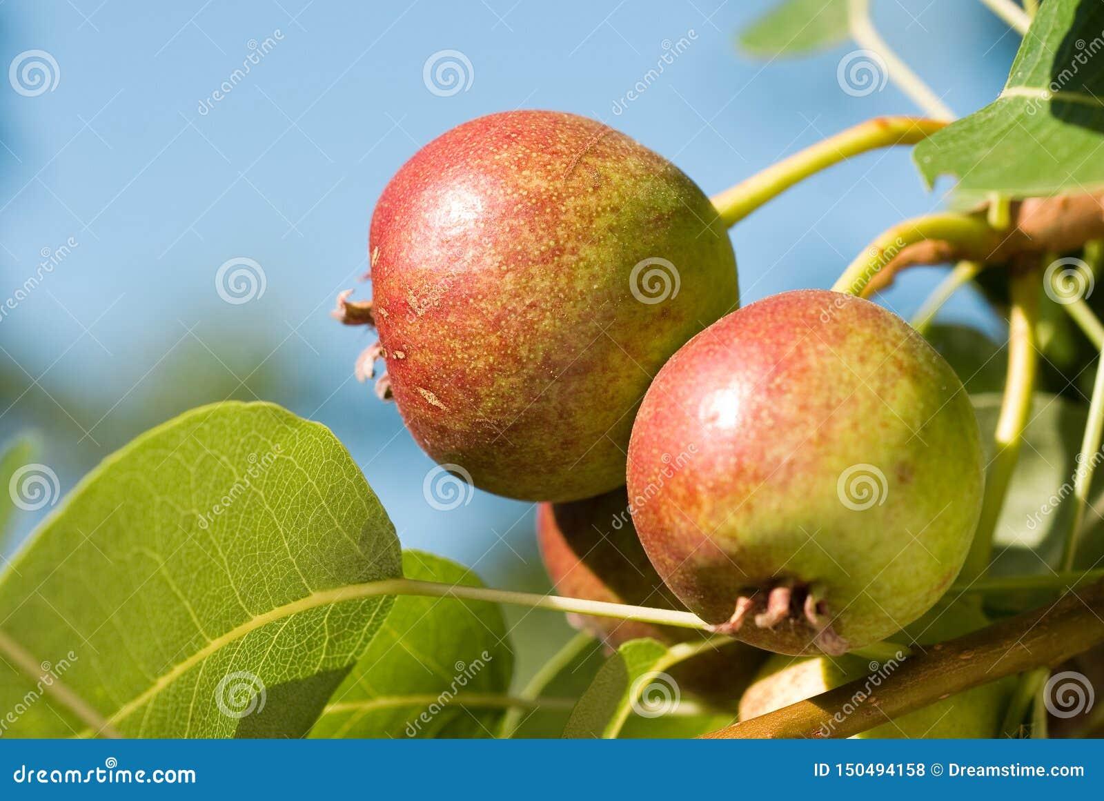 Μικρά αχλάδια στον κλάδο δέντρων Unripe αχλάδια στο δέντρο Αχλάδια στον κήπο Θερινά φρούτα