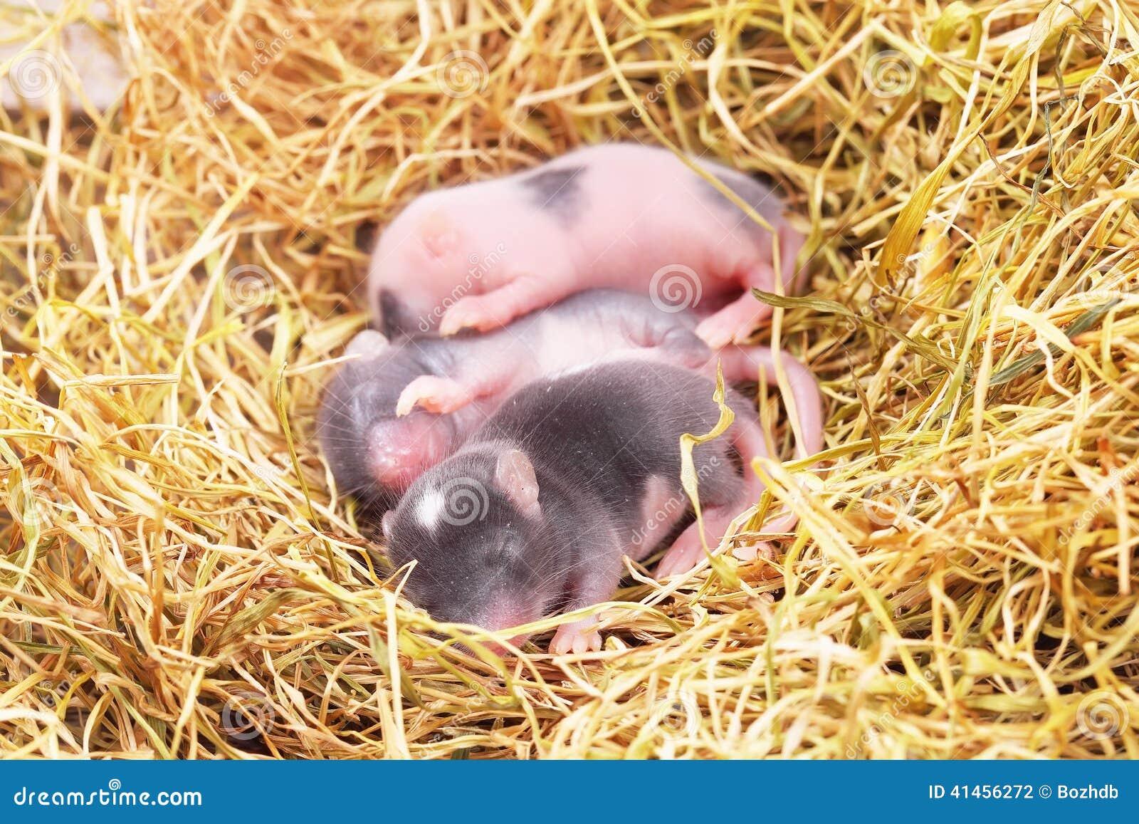 Μικρά μωρά ποντικιών στη φωλιά