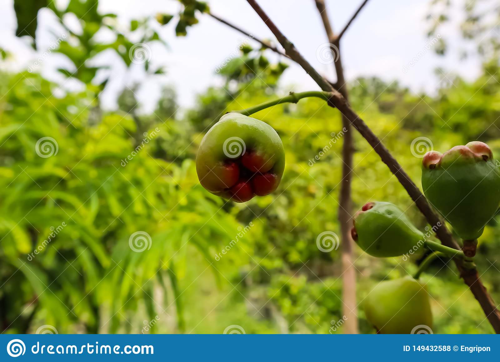 Μικρά φρούτα σύκων στον κλάδο του δέντρου