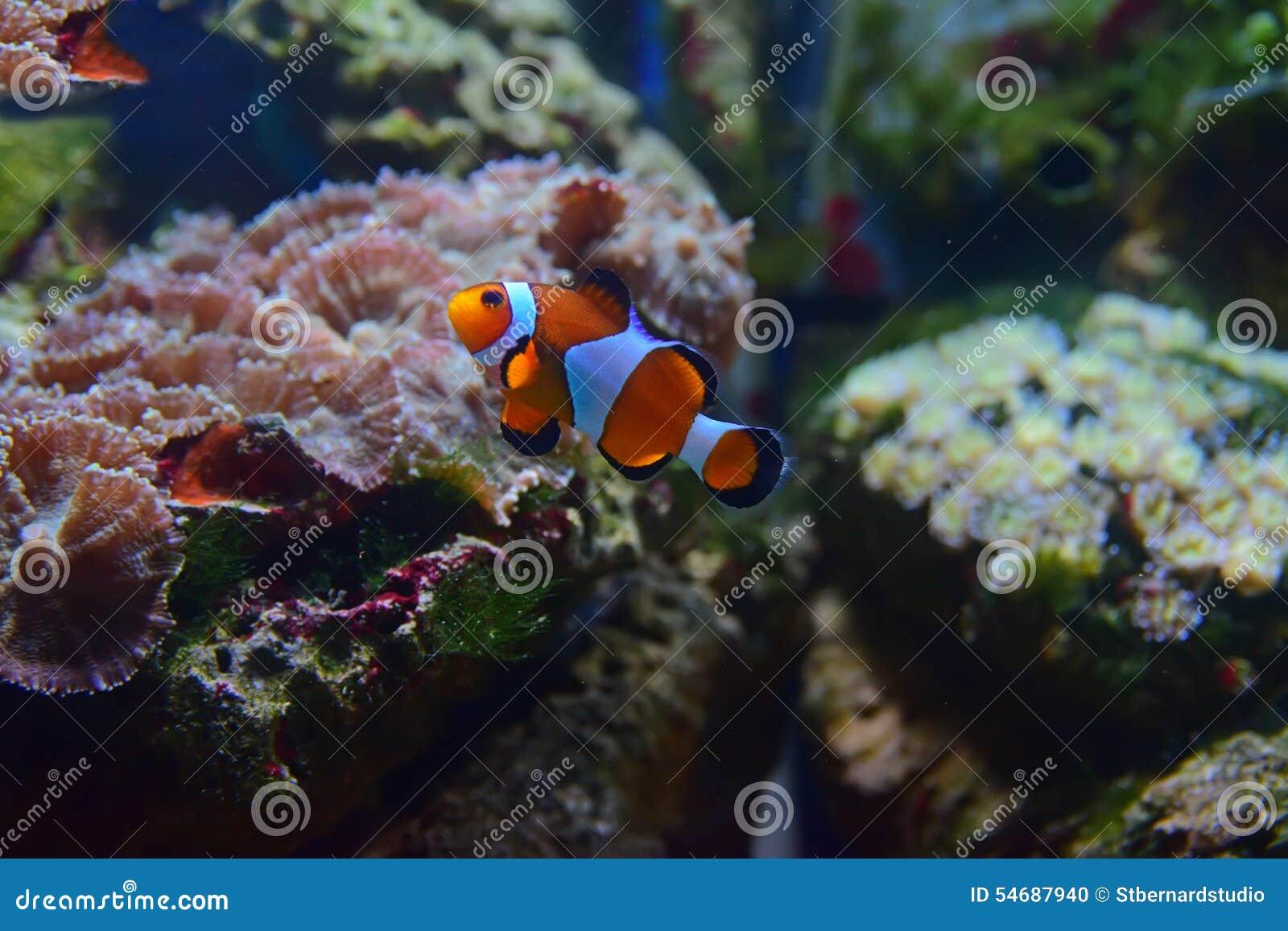 Μικρά ψάρια κλόουν που κολυμπούν επάνω με τα διαφορετικά κοράλλια στο υπόβαθρο