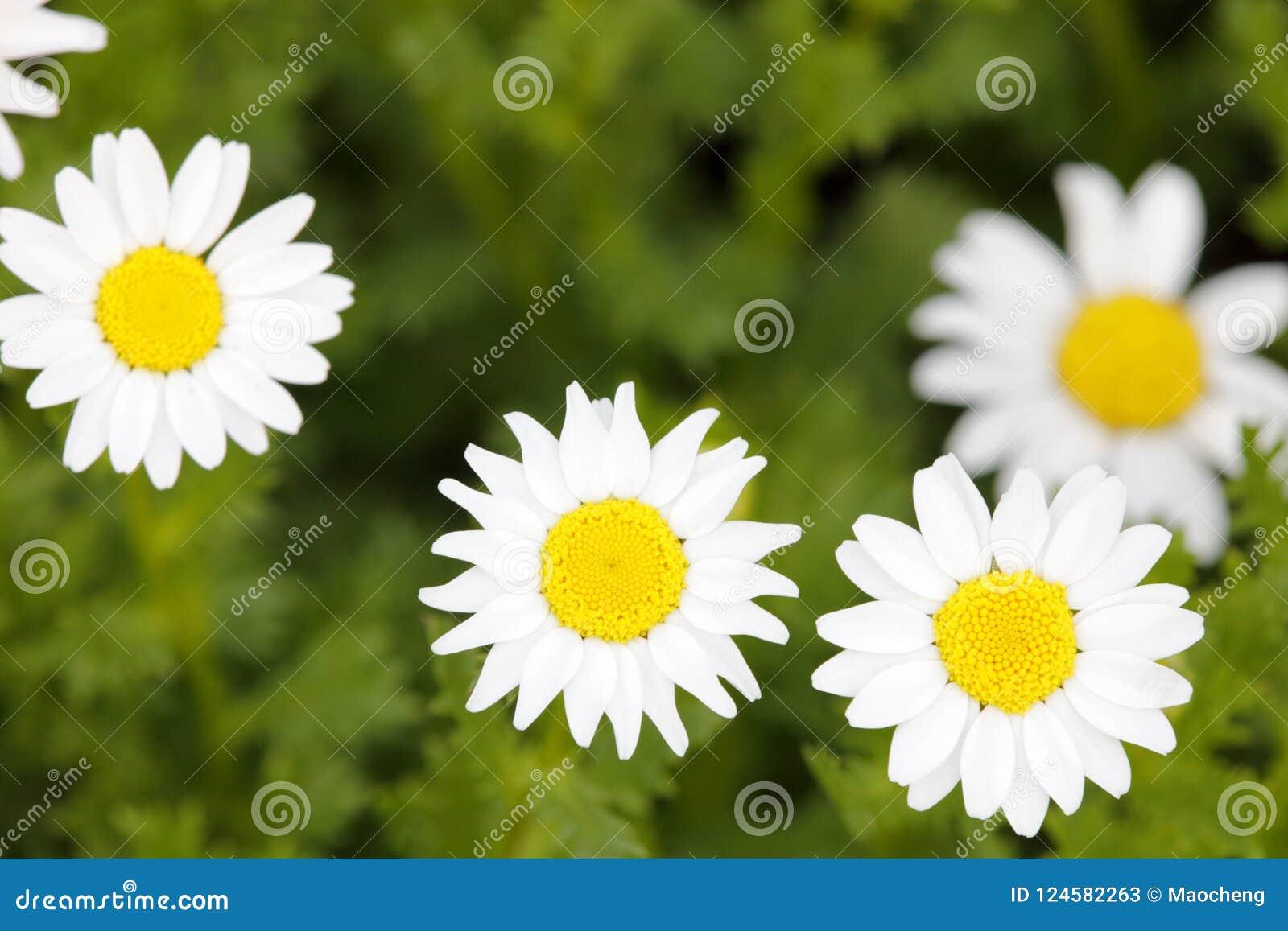 Μικρή άσπρη μακροεντολή λουλουδιών στο λιβάδι, πλίθα rgb