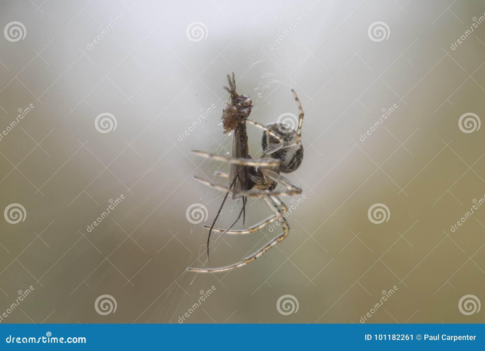 Μικρή αράχνη χρημάτων στον Ιστό