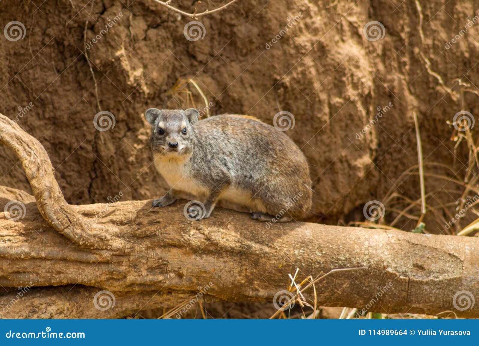 Μικρή ζωική συνεδρίαση Hyrax σε έναν ξηρό κλάδο δέντρων