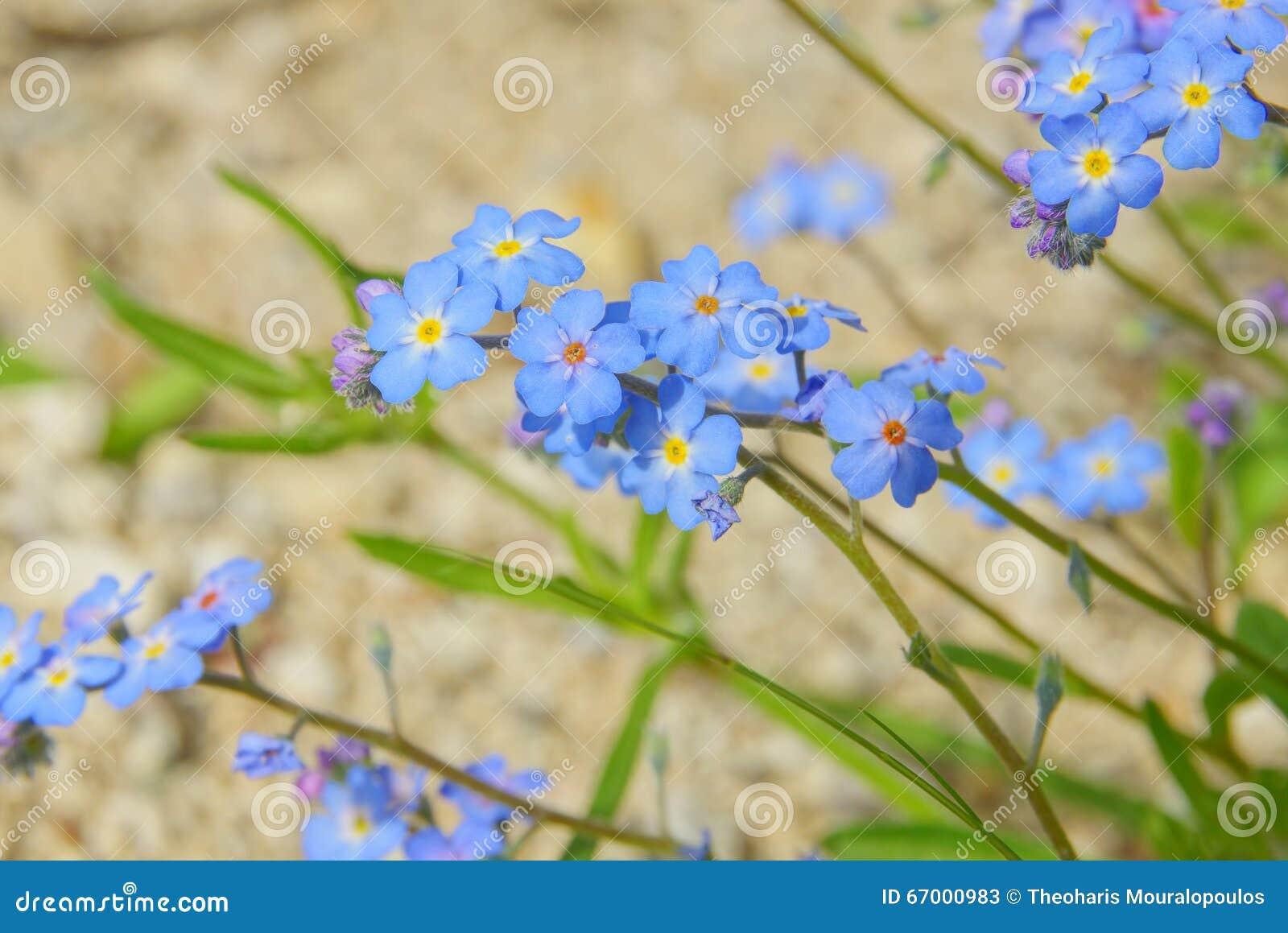 Μικροσκοπικά λουλούδια Forgetme μη