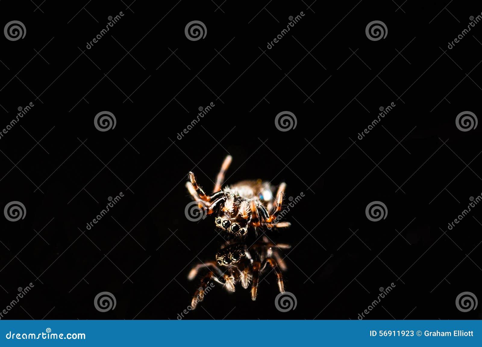 Μικροσκοπική αράχνη άλματος με την αντανάκλαση που απομονώνεται στο Μαύρο