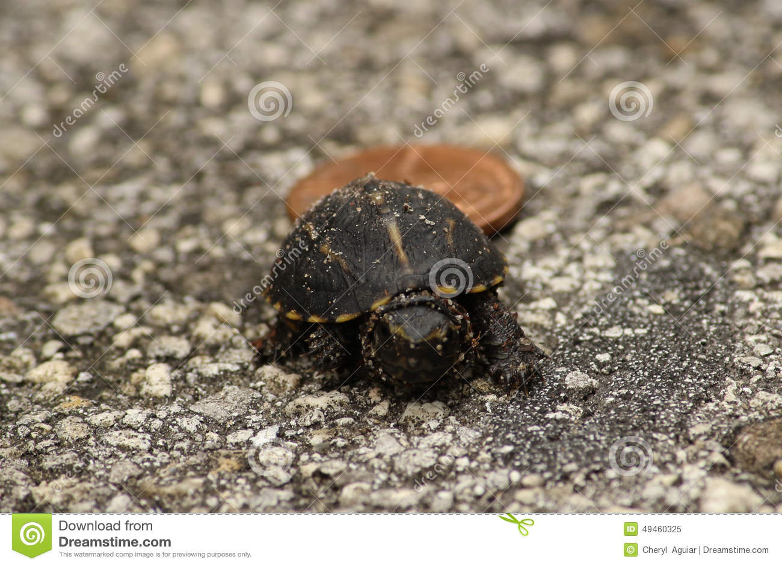 Μικροσκοπική χελώνα κιβωτίων