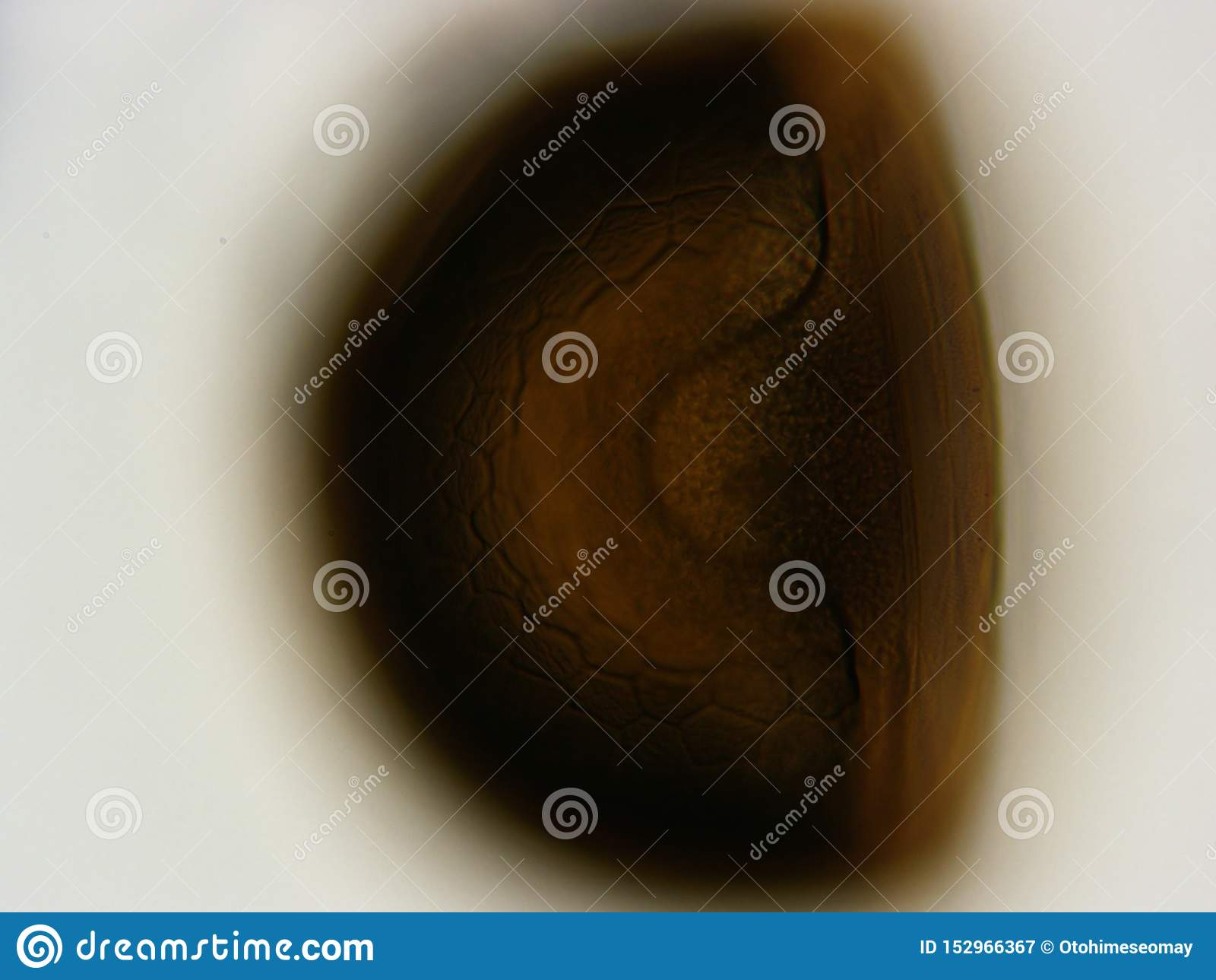 Μικροσκόπιο 400x αυγών γαρίδων