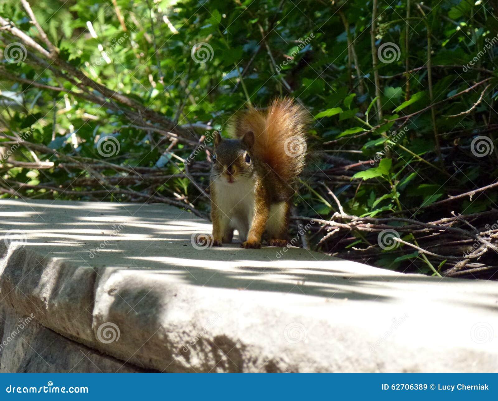 μικρός σκίουρος