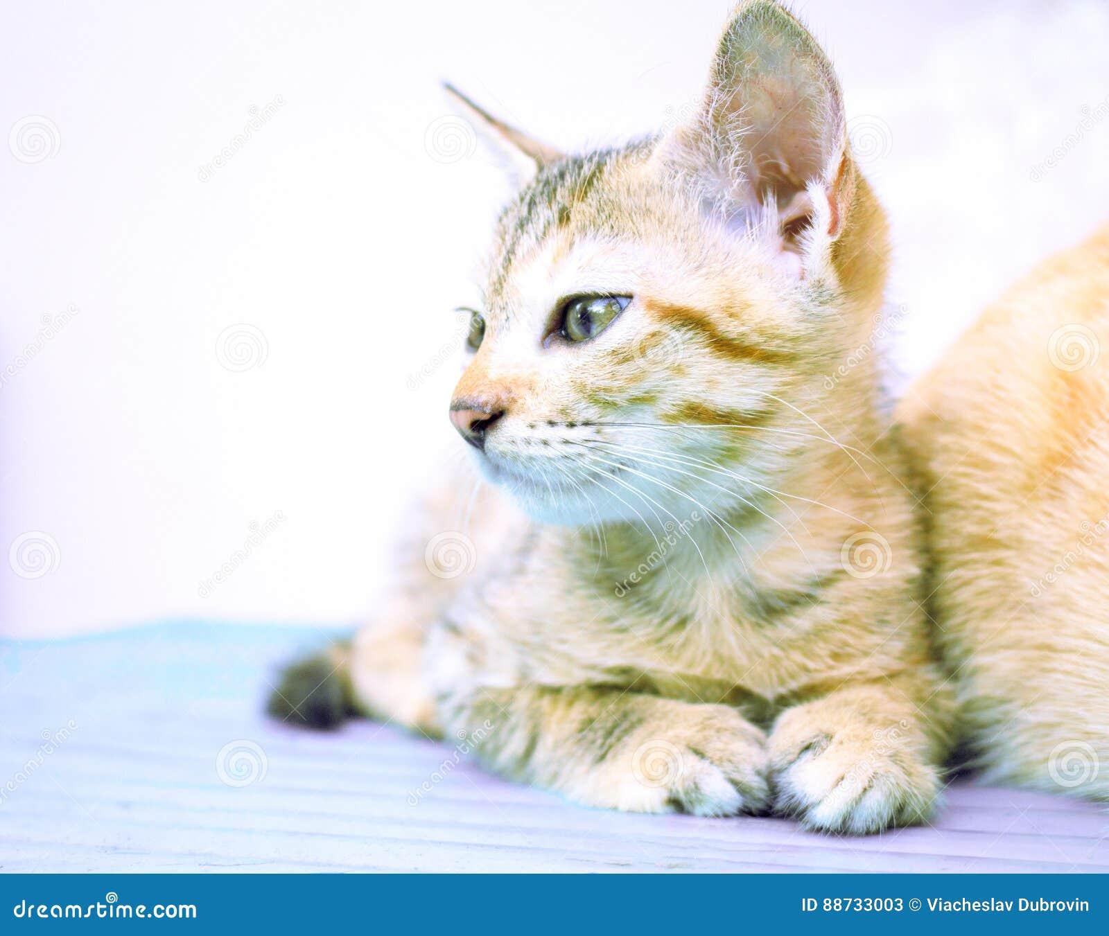 125ffd3e022f Μικρό γατάκι στον ξύλινο πάγκο Νέα γάτα στο ξύλινο υπόβαθρο Ζωή επαρχίας  της εσωτερικής γάτας Του χωριού γατάκι στον αγροτικό πίνακα Καλό καφετί  γατάκι ...