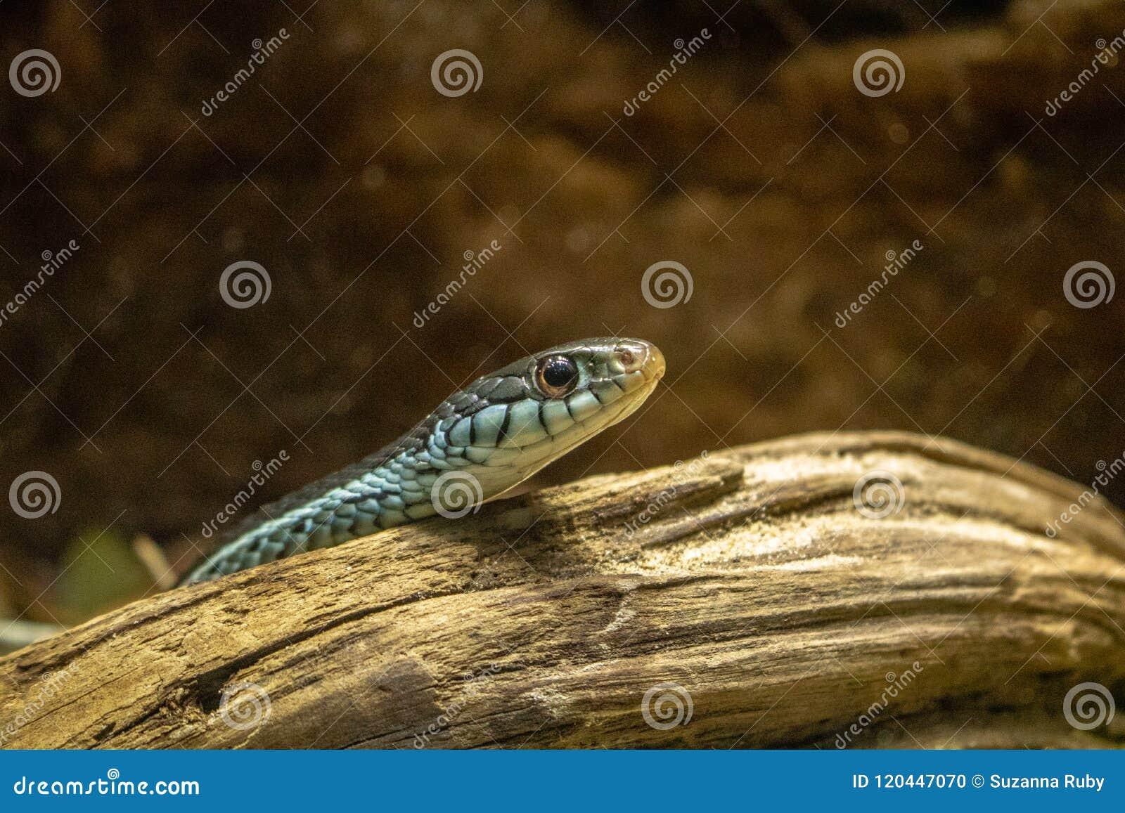 Μικρό μπλε και μαύρο φίδι