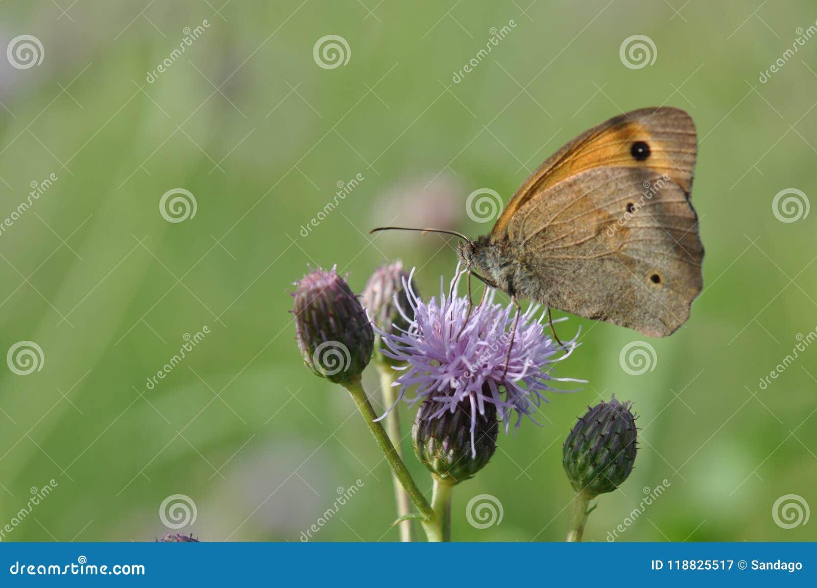 Μικρό ρείκι πεταλούδων
