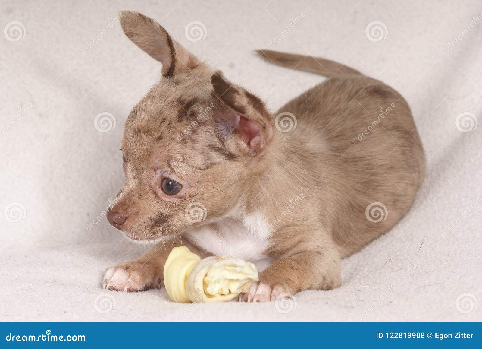 μικρό σκυλί που μασά ένα κόκκαλο