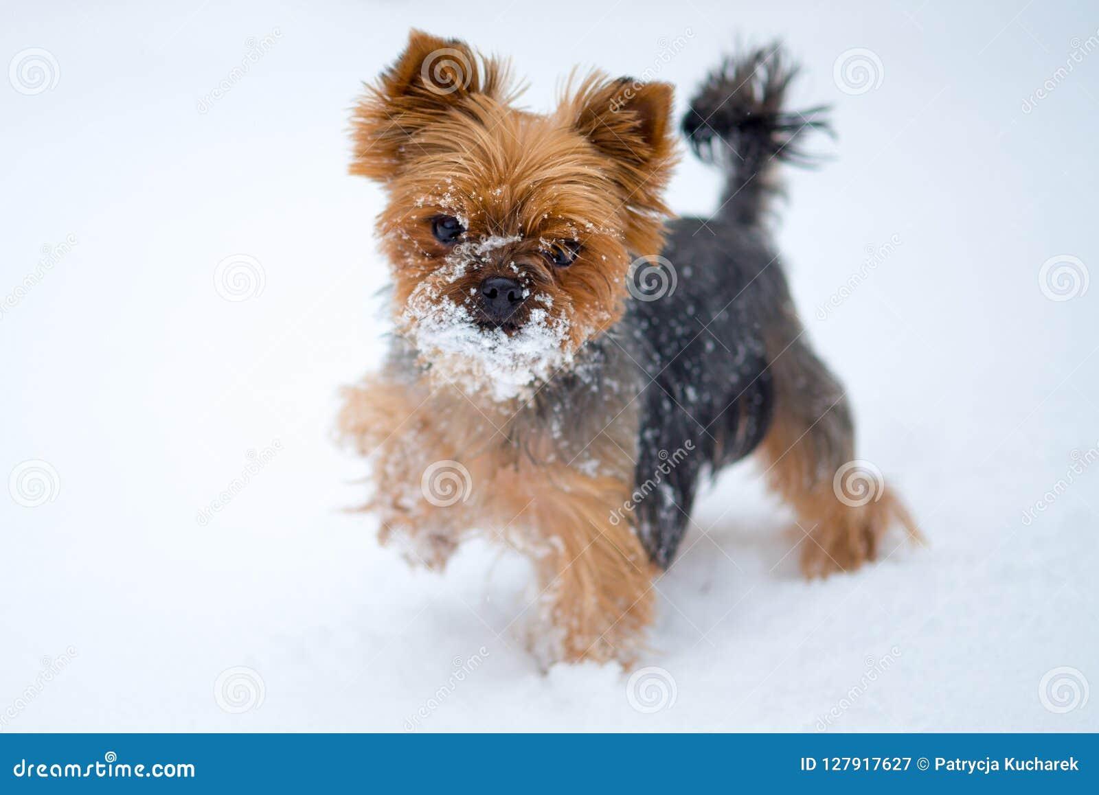 Μικρό σκυλί στο χιόνι Τεριέ του Γιορκσάιρ