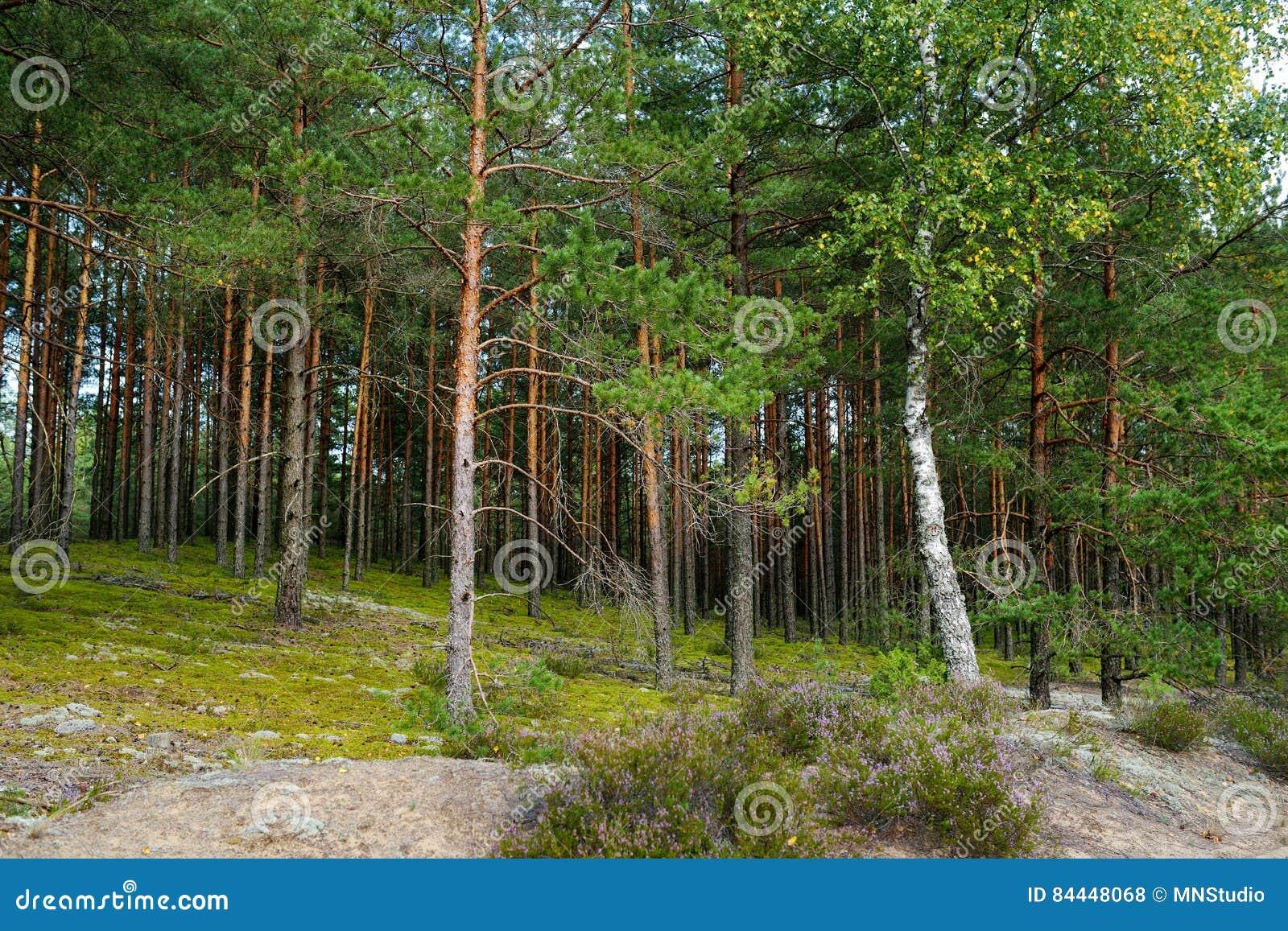 Μικτά πεύκο και αποβαλλόμενο δάσος