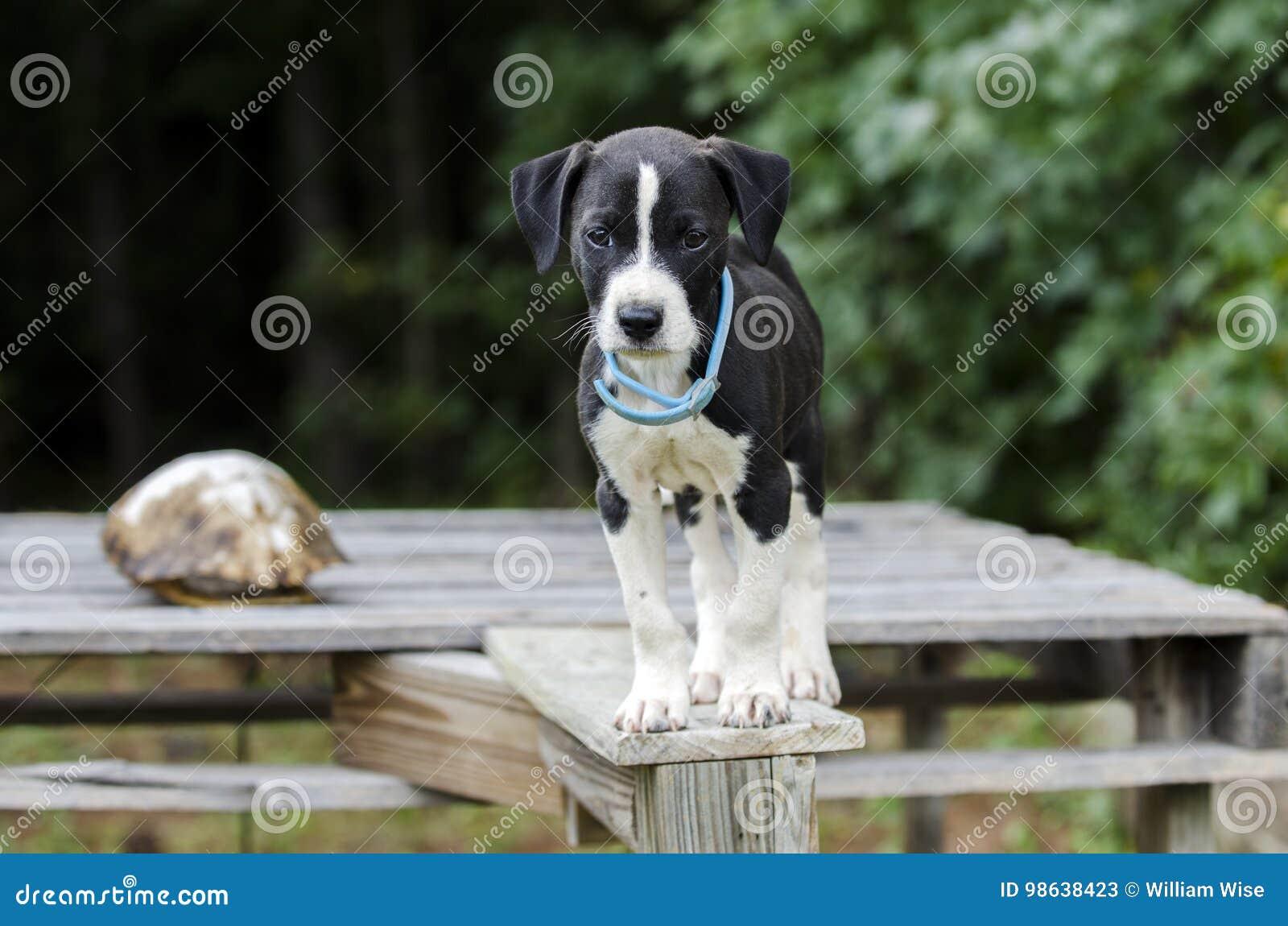 Μικτό σκυλί κουταβιών φυλής δεικτών κυνηγόσκυλο με το περιλαίμιο ψύλλων