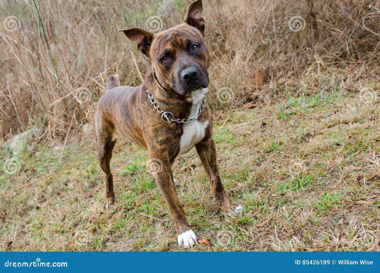 Μικτό σκυλί φυλής μπόξερ Brindle μπουλντόγκ