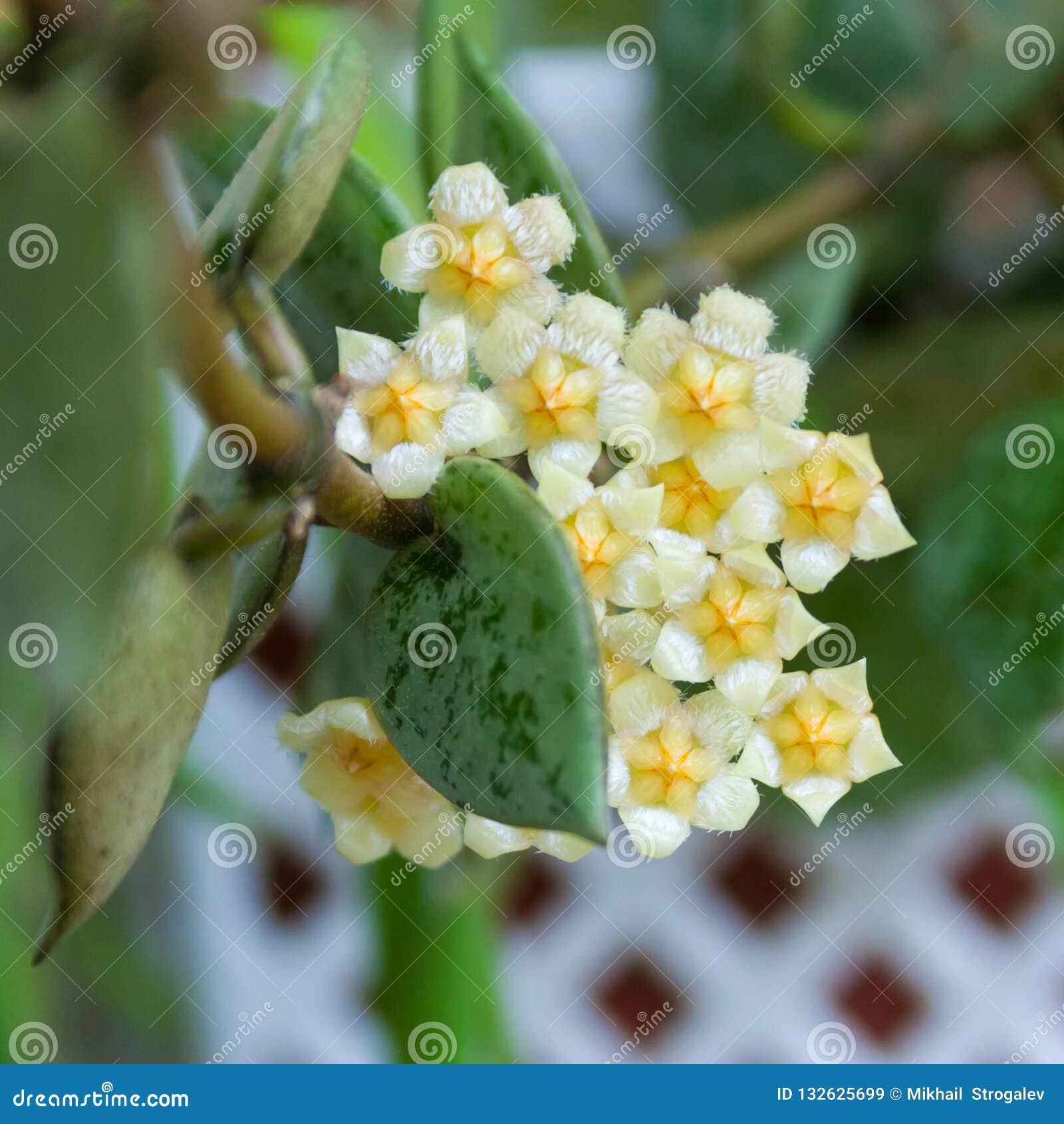 Μπεζ λουλούδια hoya των εγκαταστάσεων