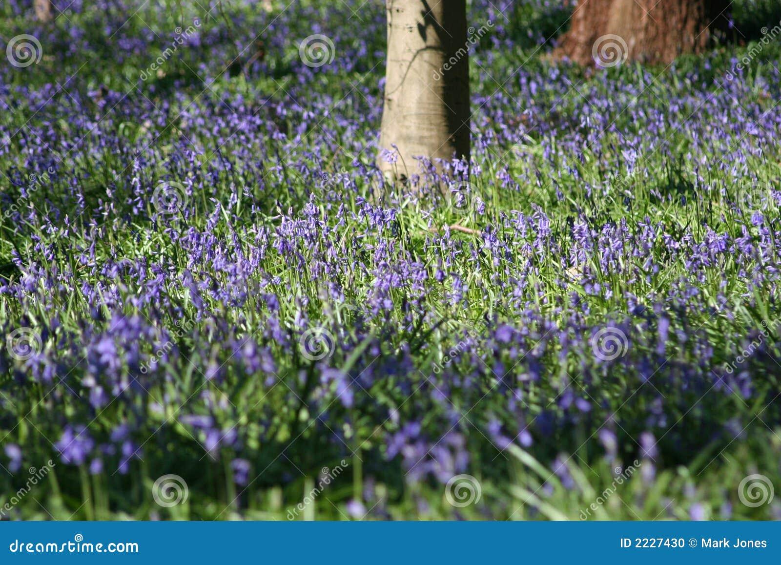 μπλε άνοιξη λουλουδιών κουδουνιών