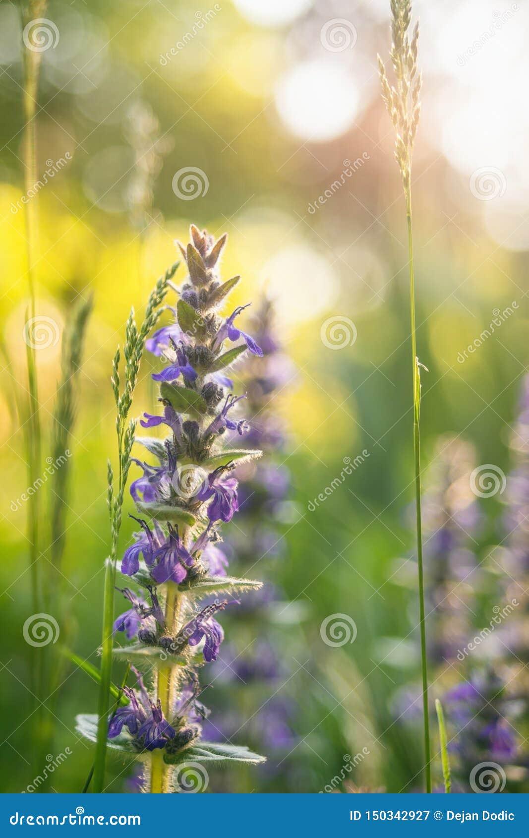 Μπλε αλπικά άγρια λουλούδια σαλπίγγων