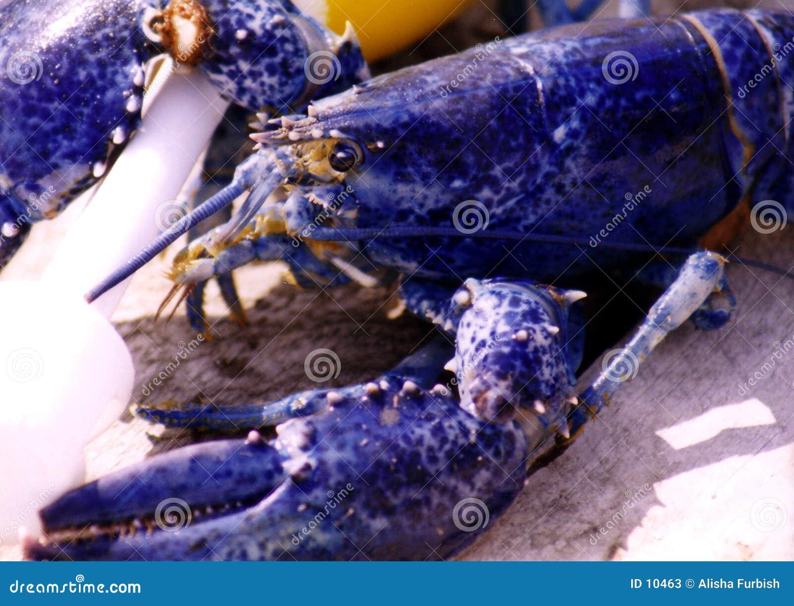 μπλε αστακός